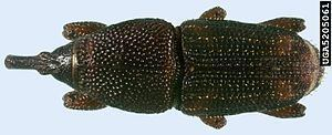 Maize weevil Maize weevil Wikipedia
