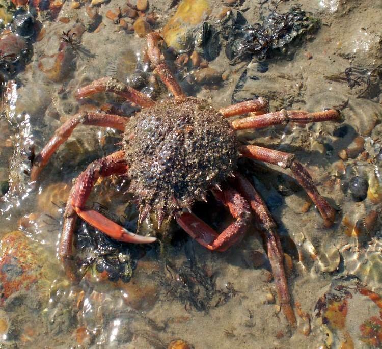 Maja squinado Spiny Spider Crabs Maja squinado