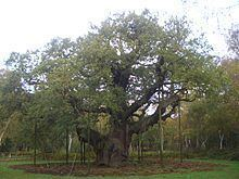 Major Oak Major Oak Wikipedia