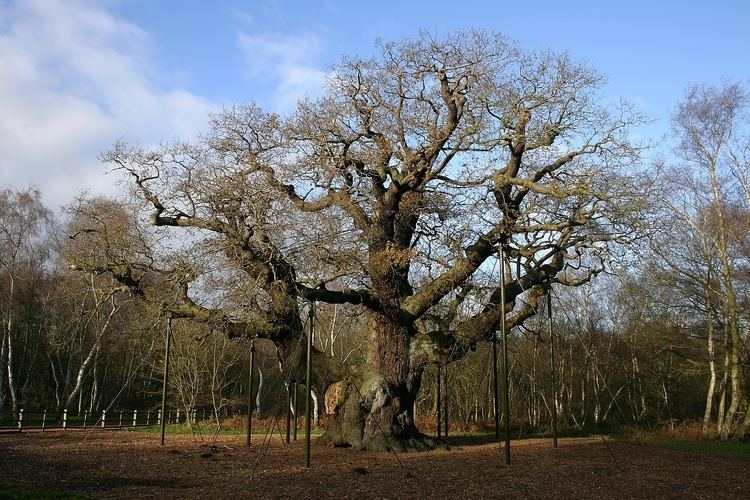 Major Oak The Major Oak of Sherwood Forest England