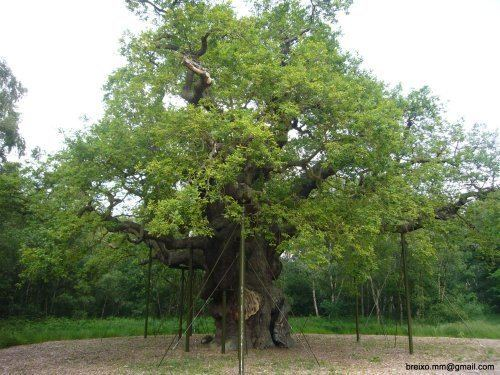 Major Oak wwweyemeadcomMAJOR127jpg