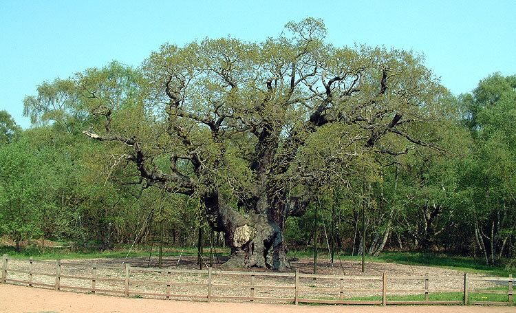 Major Oak Major Oak in Sherwood Forest the Dukeries England39s finest living