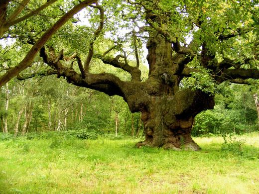 Major Oak Major Oak Nottinghamshire England Atlas Obscura