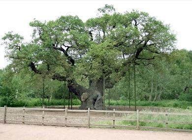 Major Oak Major Oak Historic Site in Mansfield Edwinstowe Experience