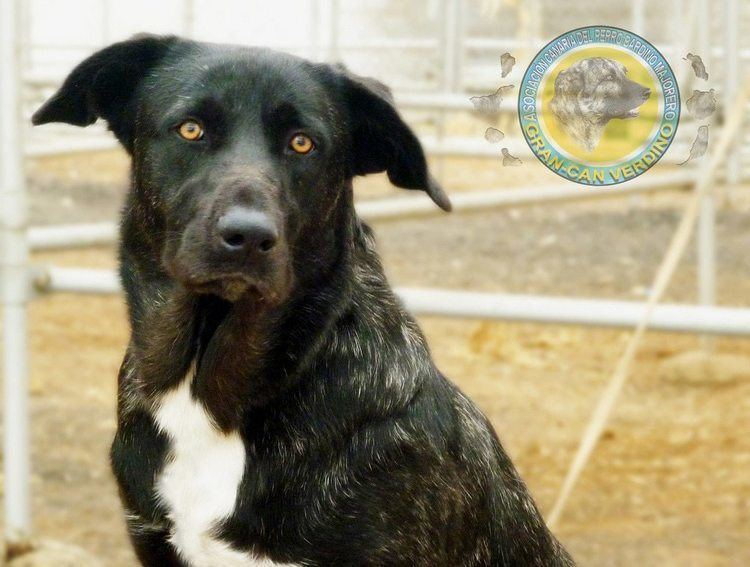 Majorero Majorero Dogs breeds Pets