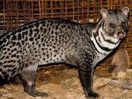 Malabar large-spotted civet wwwzooinstitutescomzoosratingimages831jpg