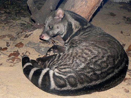 Malabar large-spotted civet malabar large spotted civet Malabar largespotted civet Viverra