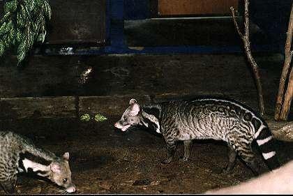 Malabar large-spotted civet Animal Info Malabar Large Spotted Civet