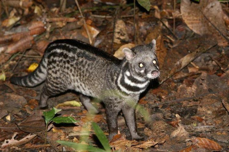 Malabar large-spotted civet Malabar largespotted civet A Z Animals
