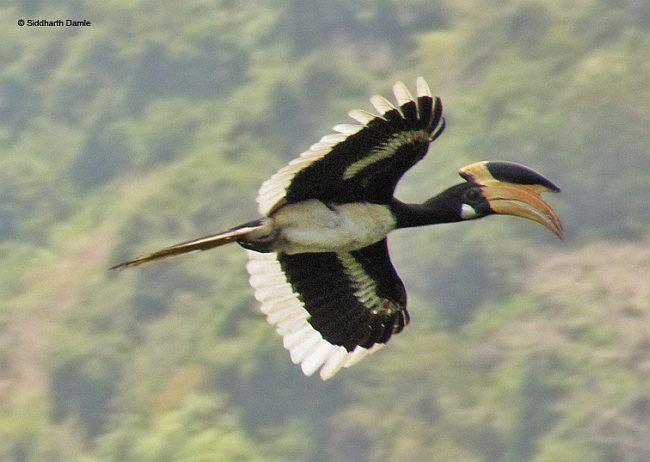 Malabar pied hornbill Oriental Bird Club Image Database Malabar Pied Hornbill