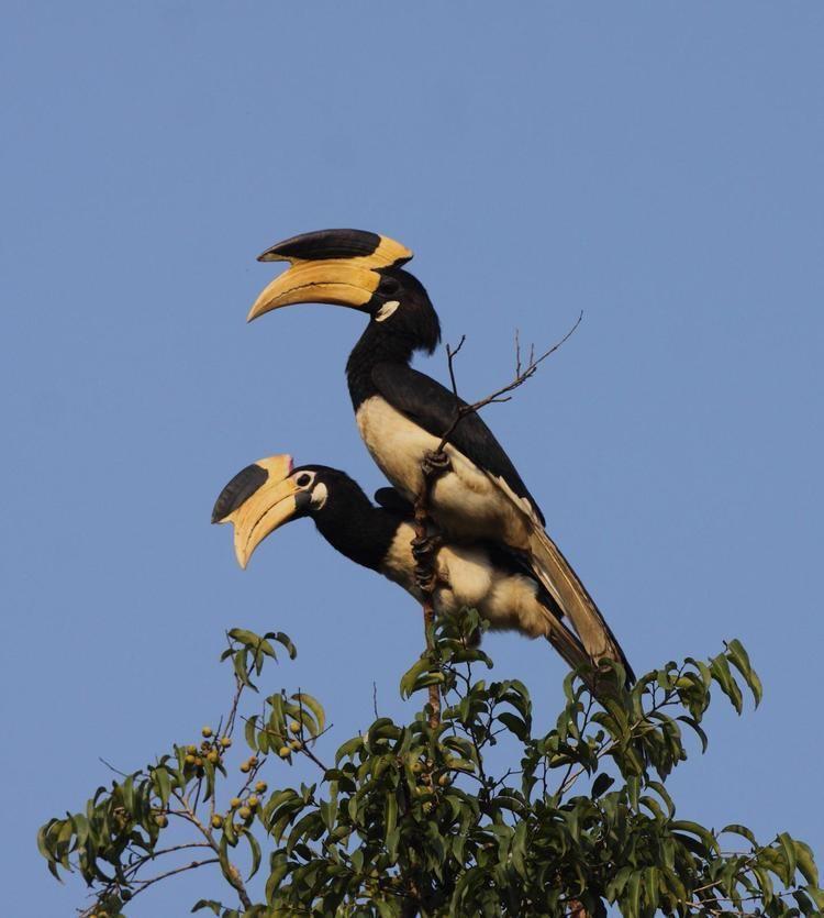 Malabar pied hornbill Malabar Pied Hornbill Anthracoceros coronatus COUPLE the
