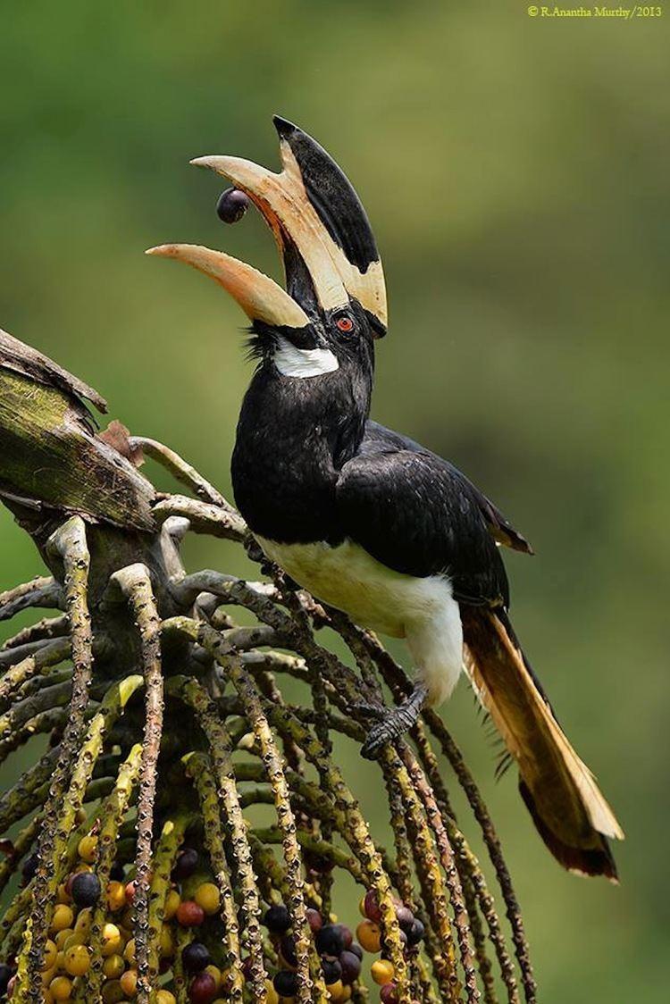 Malabar pied hornbill Anantha Murthy MALABAR PIEDHORNBILL Goa India Birds
