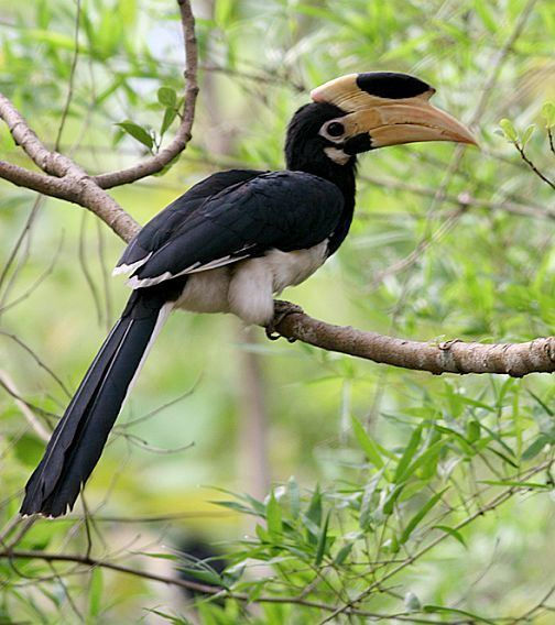 Malabar pied hornbill orientalbirdimagesorgimagesdatamalabarpiedho