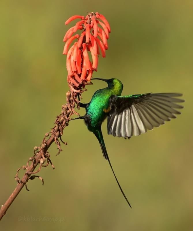 Malachite sunbird Photos of Malachite Sunbird Nectarinia famosa the Internet Bird