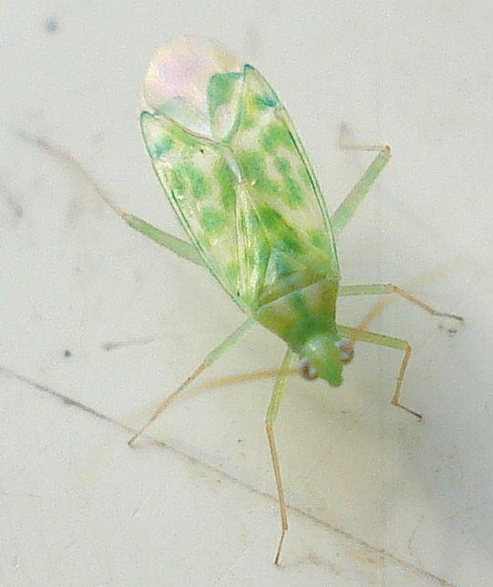 Malacocoris chlorizans httpsuploadwikimediaorgwikipediacommons00