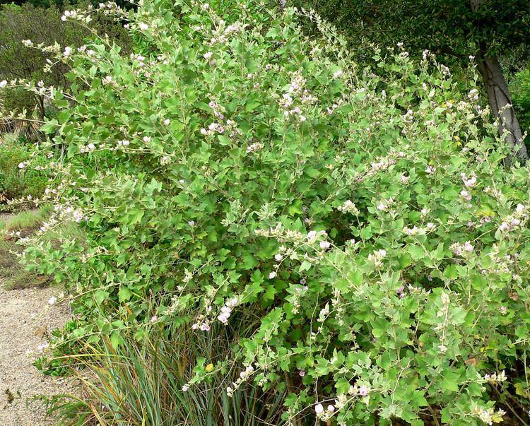 Malacothamnus Malacothamnus fasciculatus Bush Mallow plant lust
