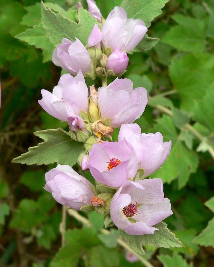 Malacothamnus httpsuploadwikimediaorgwikipediacommonsaa