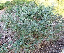 Malacothamnus clementinus httpsuploadwikimediaorgwikipediacommonsthu