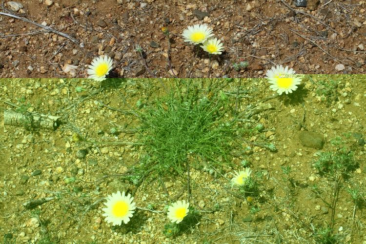 Malacothrix glabrata Vascular Plants of the Gila Wilderness Malacothrix glabrata