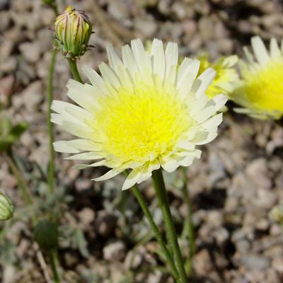 Malacothrix glabrata Malacothrix glabrata Smooth Desertdandelion Smooth Desert