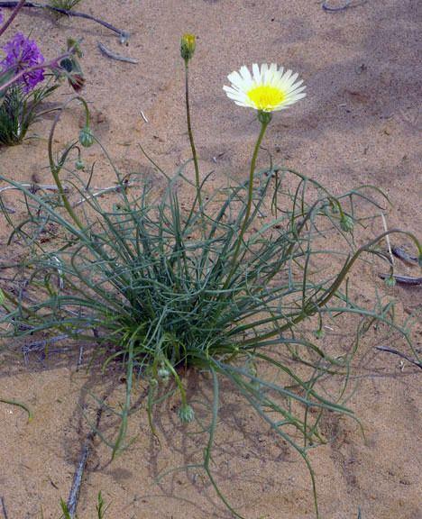 Malacothrix glabrata Malacothrix glabrata Smooth Desertdandelion