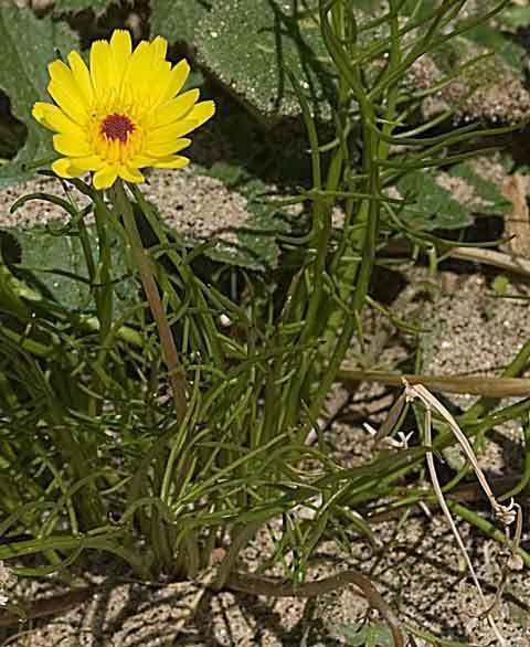 Malacothrix glabrata Desert Dandelion Malacothrix glabrata