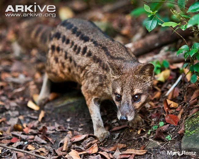 Malagasy civet Striped civet videos photos and facts Fossa fossana ARKive