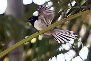 Malagasy paradise flycatcher httpsuploadwikimediaorgwikipediacommonsthu