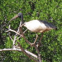 Malagasy sacred ibis httpsuploadwikimediaorgwikipediacommonsthu