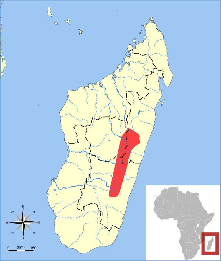 Malagasy serotine