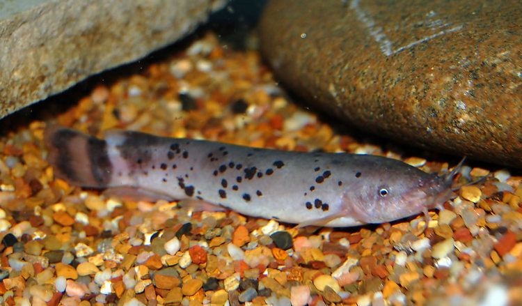 Malapterurus electricus Electric catfishMalapterurus electricus Gary McKinney Flickr