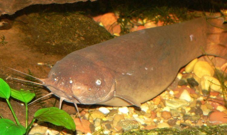 Malapterurus electricus Malapterurus Wikipedia