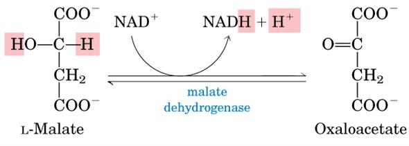 Malate dehydrogenase Chapter 16 Solutions Lehninger Principles Of Biochemistry 5th