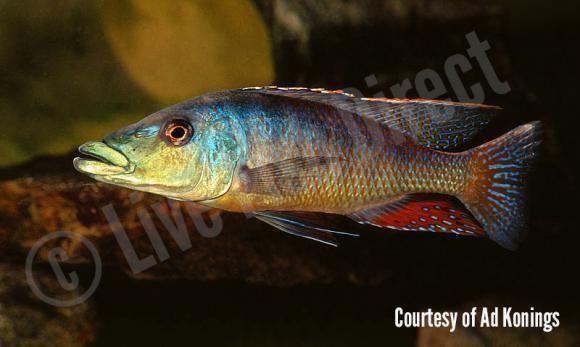 Malawi gar Buy Live Malawi Gar Cichlid Lichnochromis acuticeps