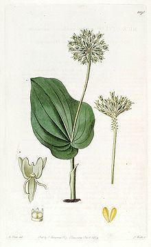 Malaxis unifolia httpsuploadwikimediaorgwikipediacommonsthu