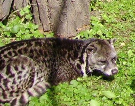Malayan civet Malayan Civet Viverra Tangalunga Animals AZ Animals