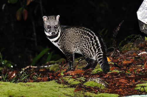 Malayan civet The Lazy Lizard39s Tales Raffles Museum Treasures Malay civet