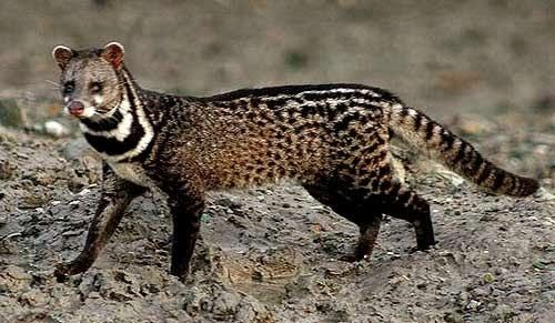 Malayan civet Malayan Civet Animals Amazing Facts amp Latest Pictures Animals Lover