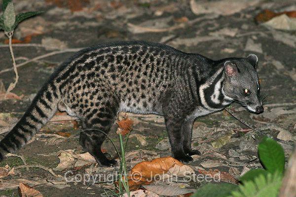 Malayan civet Jas amp John39s Nature Photography
