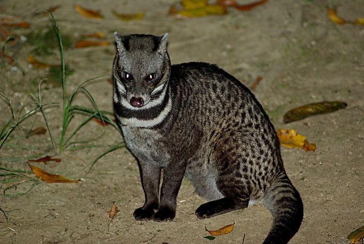 Malayan civet birdingecotourscomwpcontentgalleryborneospec