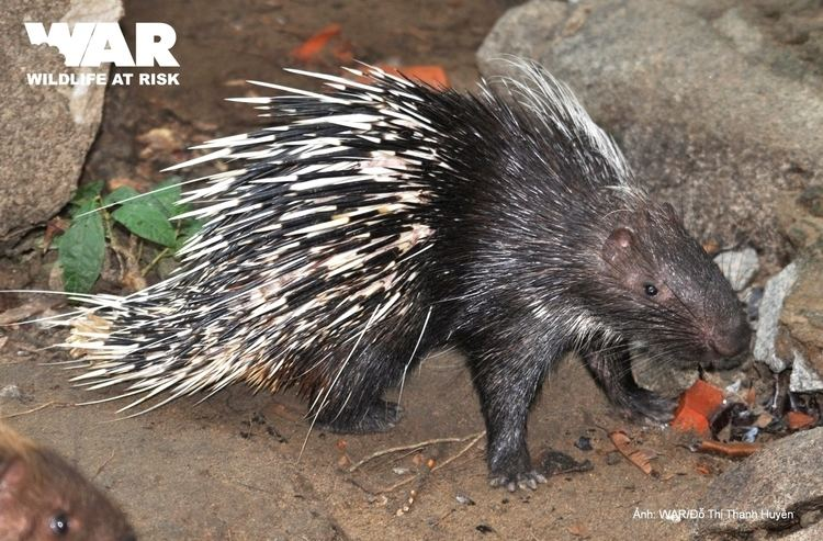 Malayan porcupine WILDLIFE AT RISK