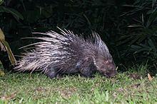 Malayan porcupine httpsuploadwikimediaorgwikipediacommonsthu