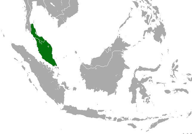 Malayan pygmy shrew