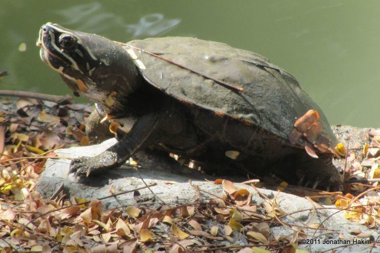 Malayan snail-eating turtle Malayan Snaileating Turtle Reptiles and Amphibians of Bangkok