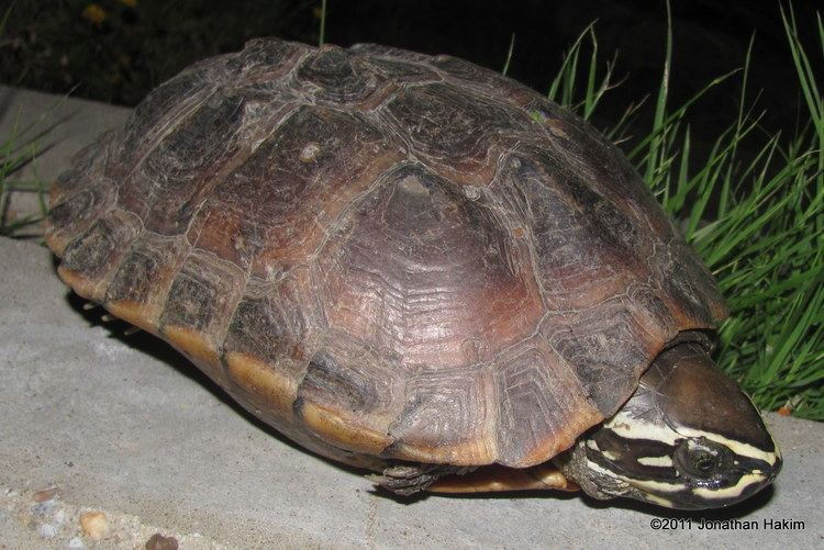 Malayan snail-eating turtle Malayan Snaileating Turtle Reptiles and Amphibians of Bangkok