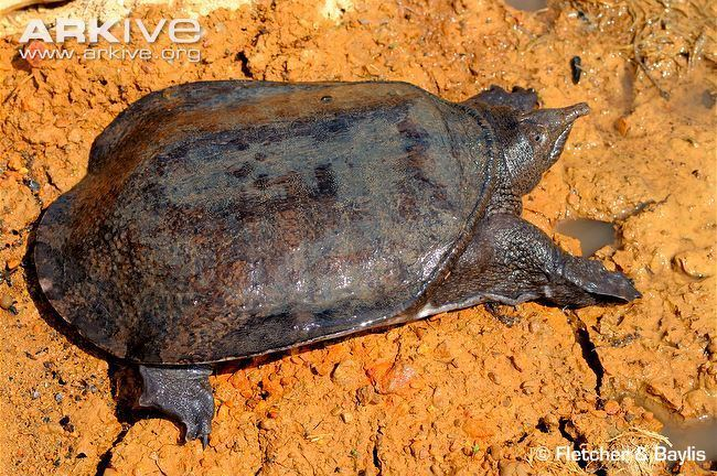 Malayan softshell turtle Malayan softshelled turtle photo Dogania subplana G78850 ARKive