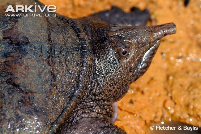 Malayan softshell turtle Malayan softshelled turtle photo Dogania subplana G78851 ARKive