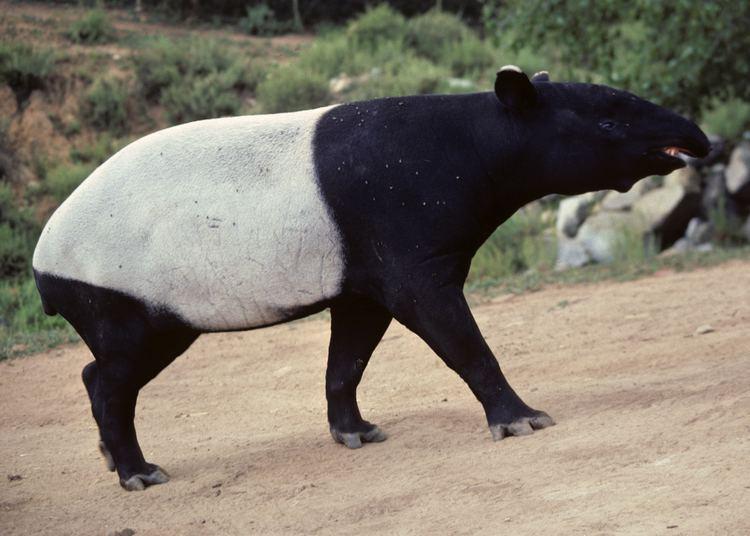 Malayan tapir Tapir Fact Sheet
