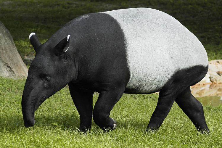 Malayan tapir Malayan Tapir Valerie Flickr