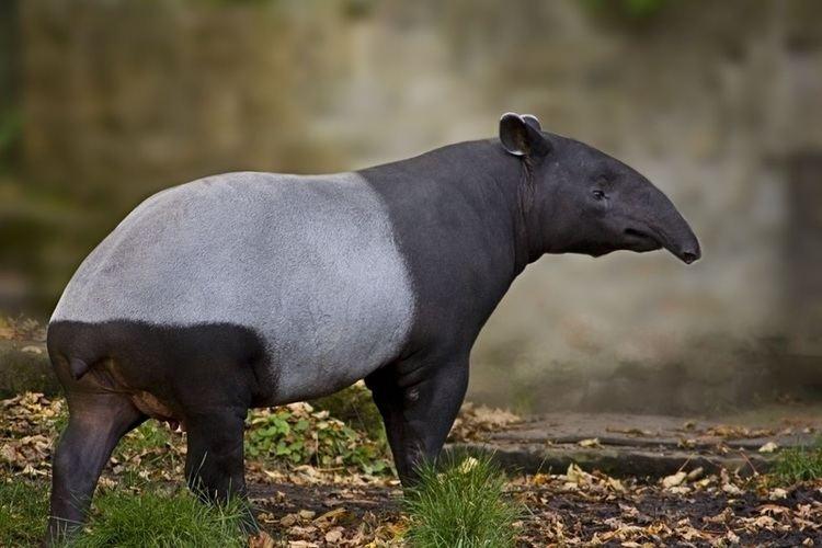 Malayan tapir About animals Malayan Tapir